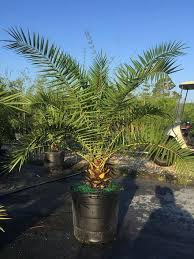 canary island date palm tree norfolk exotics
