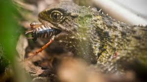 new zealand reptiles and frogs native animal conservation