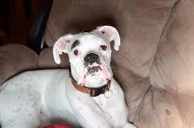boxer dog white white boxer dog loki puppy white boxer dog loki puppy flickr