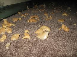 mushrooms grow along with mold in this very damp basement mold