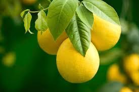 Best Fruit Trees For North Carolina - lemon trees in north carolina hunker