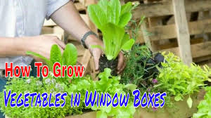 How To Grow Vegetables by How To Grow Summer Vegetables In Window Boxes Gardening Tips