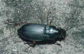 ground beetles insects university of minnesota extension