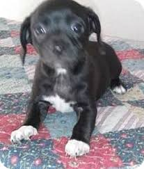 jack russell american pitbull terrier mix gilbert az jack russell terrier beagle mix meet myla a puppy