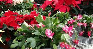 Christmas Plants Christmas Plants Moulton Farm Meredith Nh Fresh Produce
