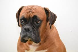 boxer dog mean how to name a dog acculturated