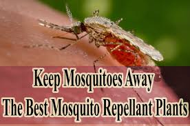 instead of using harmful mosquito repellent spray just use these