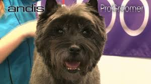 cairn terrier haircuts grooming guide cairn terrier pet trim pro groomer youtube