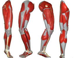 label leg muscle exercises human anatomy chart page 28 of 202
