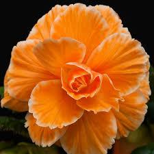 begonia flower begonia bulbs roseform apricot