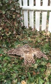 guys guys i found a sleeping owl in my backyard imgur