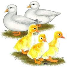 where to buy duck 77 best ducks and geese images on raising ducks duck