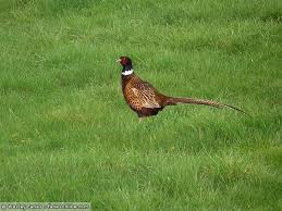Backyard Pheasants Wesley U0027s Backyard Birds Ring Necked Pheasant