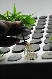 everything you want to know about mother plants and clones high