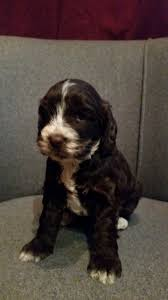 Do Cockapoo Dogs Shed A Lot by 70 Best Black Cockapoos Images On Pinterest Black Puppies And