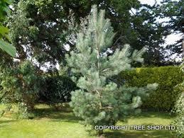 tree shop co uk scots pine tree pinus sylvestris wind