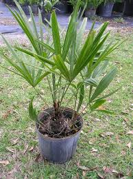 needle palm 3 gallon countyline ornamental and tree