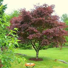 meadow valley ornamental japanese maple tree 8352851 hsn