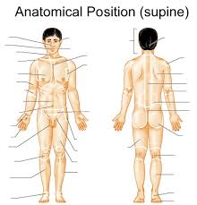 Photos Of Human Anatomy Why Is The Anatomical Position Of The Body Important Socratic