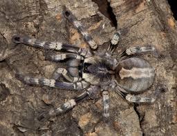poecilotheria formosa 11cm spidersworld eu
