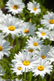 1242 best daisy images on pinterest flowers gerber daisies and