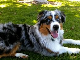 buy a australian shepherd australian shepherds for sale by h and h power aussies