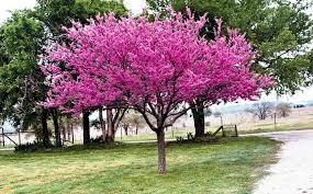eastern redbud trees for sale the planting tree