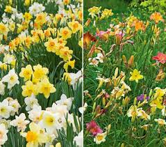 day lilies collaboration for sun for the daffodils daylilies