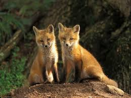 sleeping red fox wallpapers 1307 best fuchs images on pinterest red fox foxes and wild animals