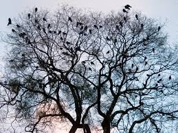 crows on tree twig on evening sky background stock photo colourbox