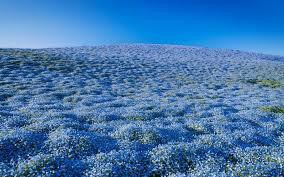 blue flower 4 million blue flowers bloomed at a japanese park travel