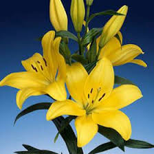 yellow lilies yellow asiatic lilies farm fresh flowers global