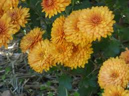 pictures of beautiful gardens with flowers lifespan of mums u2013 how long do chrysanthemums last