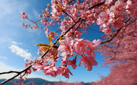 cherry flowers wallpapers amazing blossom wallpapers flowers cherry wallpaper desktop images