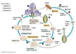 Reproduction In Flowering Plants - flowering plants ncea biology