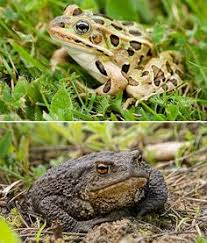 How To Get Rid Of Cane Toads In Backyard Gardening Frog Houses Toad House House And Frog House