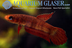 betta coccina aquarium glaser gmbh