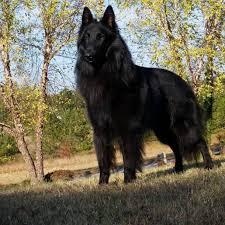 belgian sheepdog groenendael puppies colt rocks obedience again u2026 u2013 blackforest belgian sheepdogs