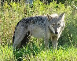 Iowa wild animals images Predators come back to iowa iowa public radio jpg
