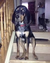bluetick coonhound puppies indiana adopted bluetick coon hound bloodhound puppy calgary ab