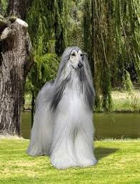 afghan hound weight beautiful and magestic animal beautiful places and other