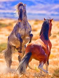 mustang horse fighting of its own kind wild pinterest horse animal and donkey