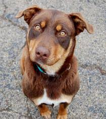 5280 australian shepherd view ad australian shepherd doberman pinscher mix dog for