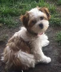 shih poo haircuts shih poo before and after dog grooming pinterest shih poo