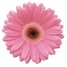 pink flower germini daisies light pink flower farm fresh exports