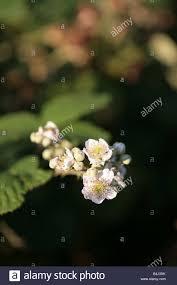 bramble flower stock photo royalty free image 20067227 alamy