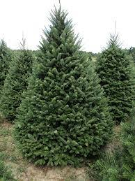 balsam fir christmas tree balsam fir landscaping ideas balsam fir plant