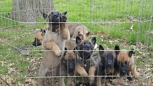 belgian sheepdog akc akc working belgian malinois puppies in hoobly classifieds