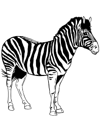 realistic animal zebra coloring u0026 coloring pages