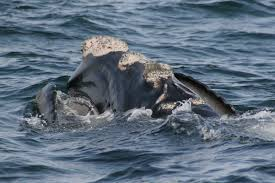 how many right whales do we miss u2013 national geographic society